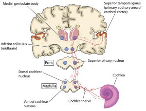 Auditory Pathway of the Brain